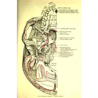 Vintage Anatomy Base of the skull external