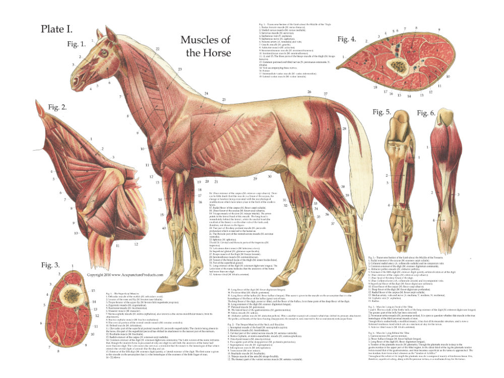 Veterinary Anatomy
