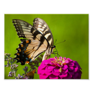Swallowtail fjäril på Zinnia Poster