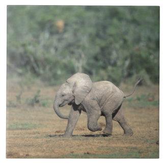 Sydafrika Addo elefantnationalpark. Baby Kakelplatta