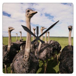 Sydafrika beskådar av ostrich fyrkantig klocka