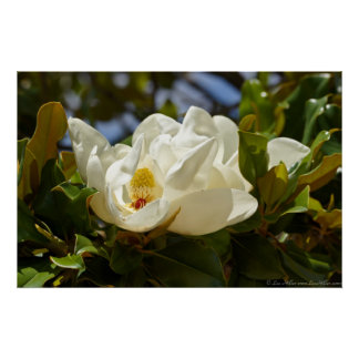 Sydlig Magnolia som blomstrar i lövaffischen Poster