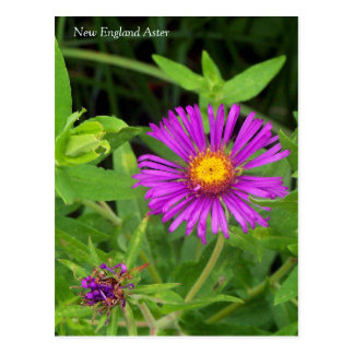 Symphotrichum för New England Aster vykort