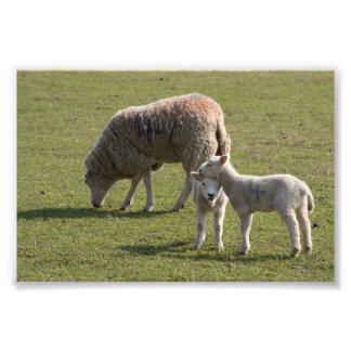 Tacka och Lambs Fototryck
