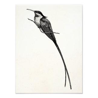 Tailed Hummingbirdillustration för vintage Long Fototryck