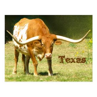 Texas Longhorn med faktumvykortet Vykort