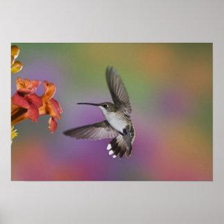 Throated Hummingbird för kvinnlig Ruby i flyg, 2 Poster