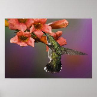 Throated Hummingbird för kvinnlig Ruby i flyg, Poster
