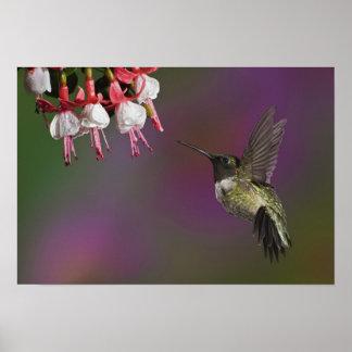 Throated Hummingbird för Male Ruby, Archilochus 2 Poster