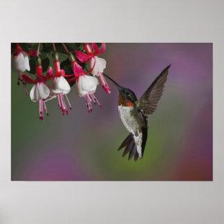Throated Hummingbird för Male Ruby, Archilochus Poster