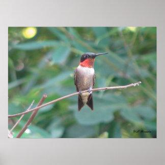 Throated Hummingbird för Male Ruby Poster