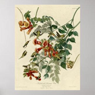 Throated Hummingbird för Ruby Poster
