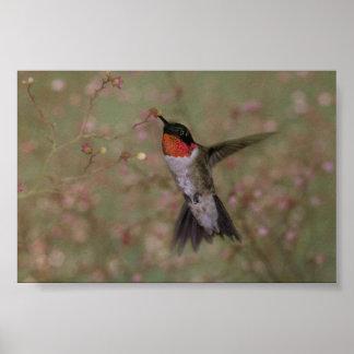 Throated Hummingbird för Ruby som dricker från en Poster
