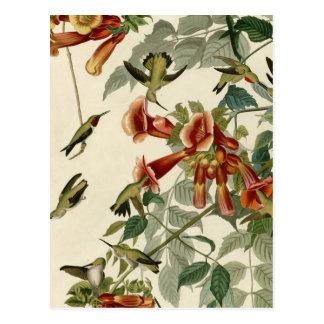 Throated Hummingbirds för Audubon Ruby Vykort