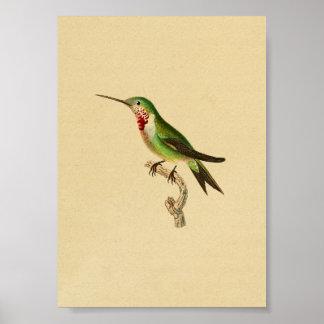 Throated Ruby 1830 för vintageHummingbirdtryck Poster