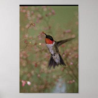 Throated surrfågel för Ruby Poster