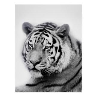Tiger i svartvitt vykort