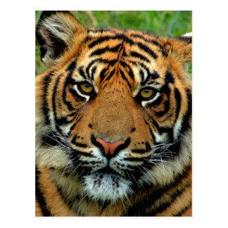 Tiger Vykort