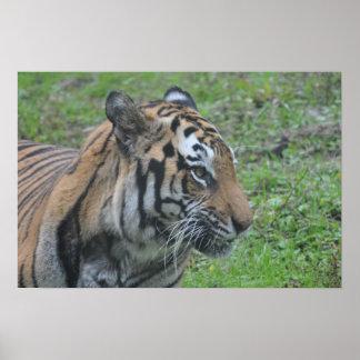 Tigeraffisch Print