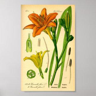 TigerDaylily (Hemerocallisfulvaen) Poster