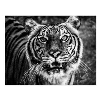 Tigervykort Vykort