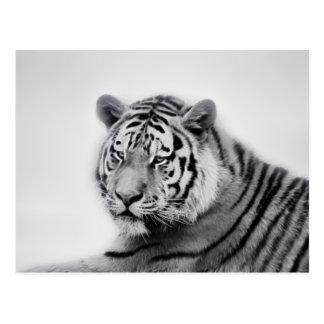 Tigrar i svartvitt vykort
