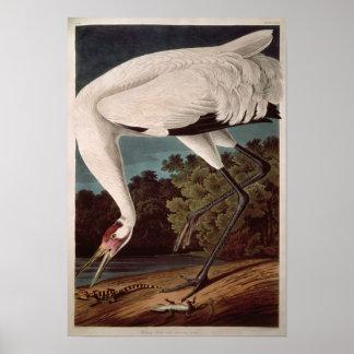 Tjuta kranen, från 'fåglar av America Affischer