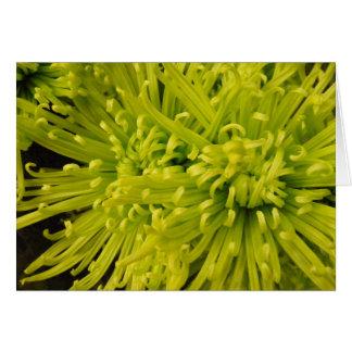 Tom grön Chrysanthemum 2 OBS Kort