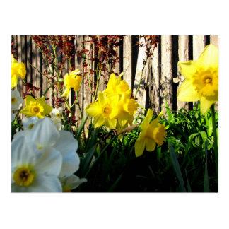 Trädgård av påskliljar vykort