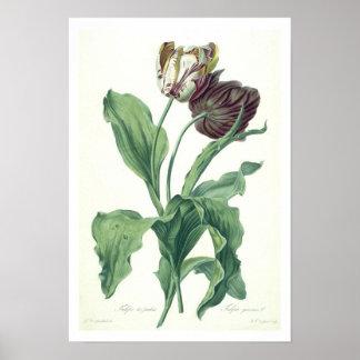 """Trädgårds- tulpan, från """"operan Botanica"""" som inri Poster"""