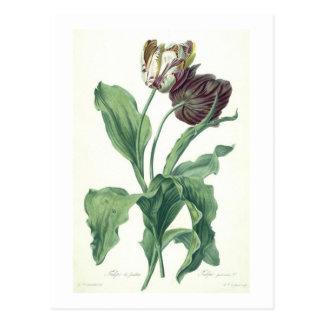 """Trädgårds- tulpan, från """"operan Botanica"""" som Vykort"""