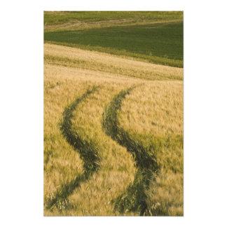 Traktorer spårar till och med vete, Tuscany, itali Fototryck