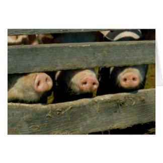 Tre grisar OBS kort