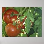 Tre tomater affisch
