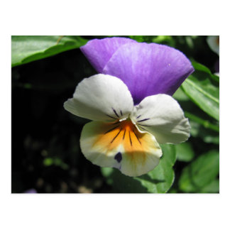 Tricolored Pansy Vykort