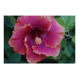 Tropisk hibiskusaffisch poster