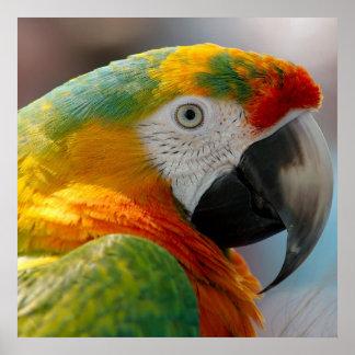 Tropisk Macawpapegoja Poster