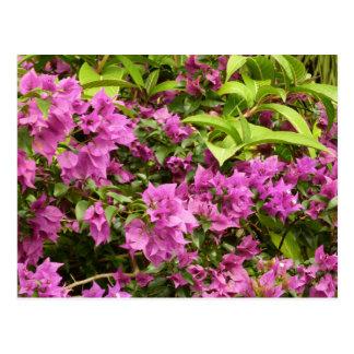 Tropisk purpurfärgad Bougainvilleavykort Vykort