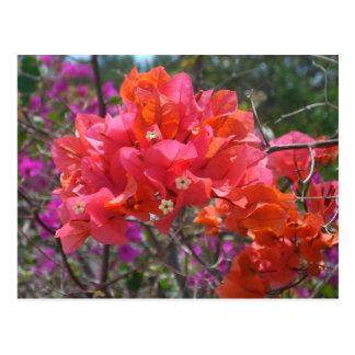 Tropisk rosa Bougainvillea Vykort