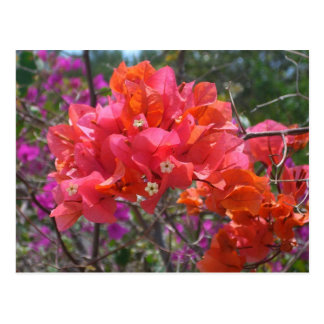 Tropisk rosa Bougainvilleavykort Vykort