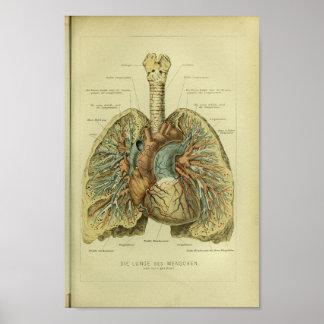 Tryck 1886 för anatomi för vintagemänniskaLungs Poster