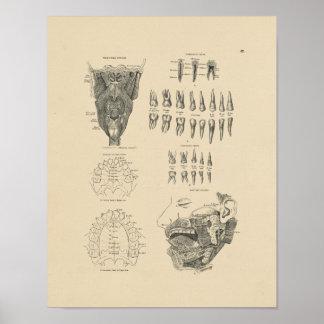 Tryck för anatomi 1880 för vintage tand-