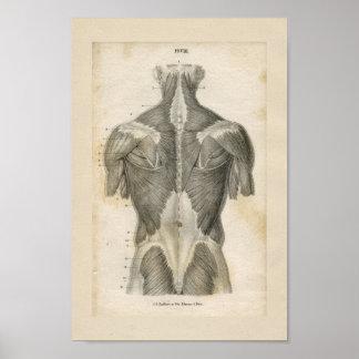 Tryck för anatomi för människamuskelvintage poster