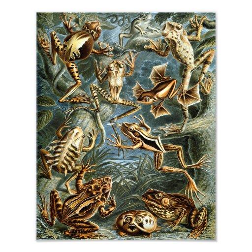 """Tryck för Ernst Haeckel """"groda"""" natur Fototryck"""