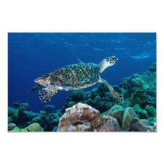 Tryck för foto för Hawksbill havssköldpadda