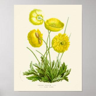 Tryck för gul vallmo för vintage botaniskt poster