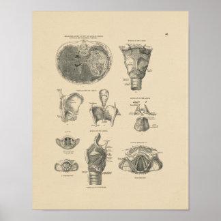 Tryck för vintagestruphuvudanatomi 1880 poster