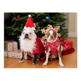 Två boston terriers i juldräkter vykort
