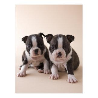 Två Boston Terriervalpar Vykort