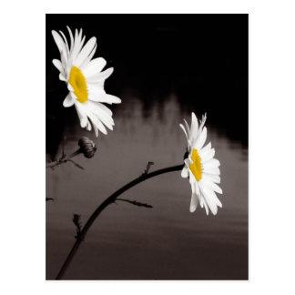 Två daisy - selektiv färg som är svartvit vykort